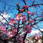 春告げる河津桜が見ごろ
